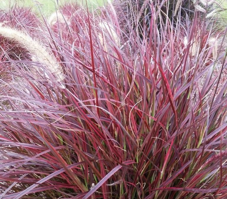 Two Great Annual Grasses to Use in Patio Planters This Upcoming Season
