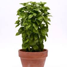 Types of Basil–All Basil's Aren't the Same